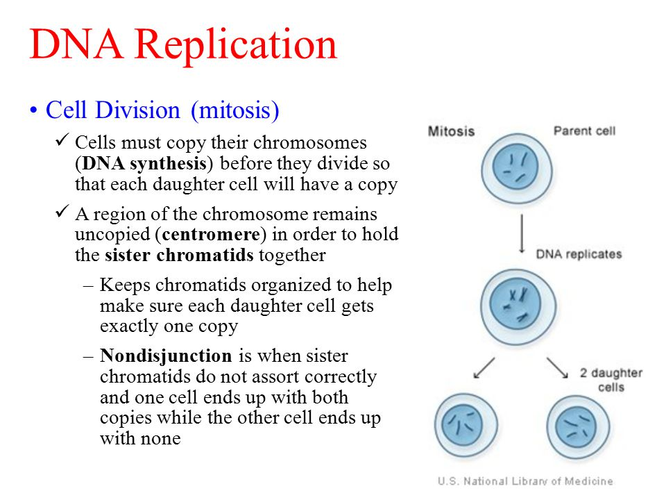 Cell Division (mitosis) Cells must copy their chromosomes (DNA synthesis) before they divide so that each daughter cell will have a copy A region of t