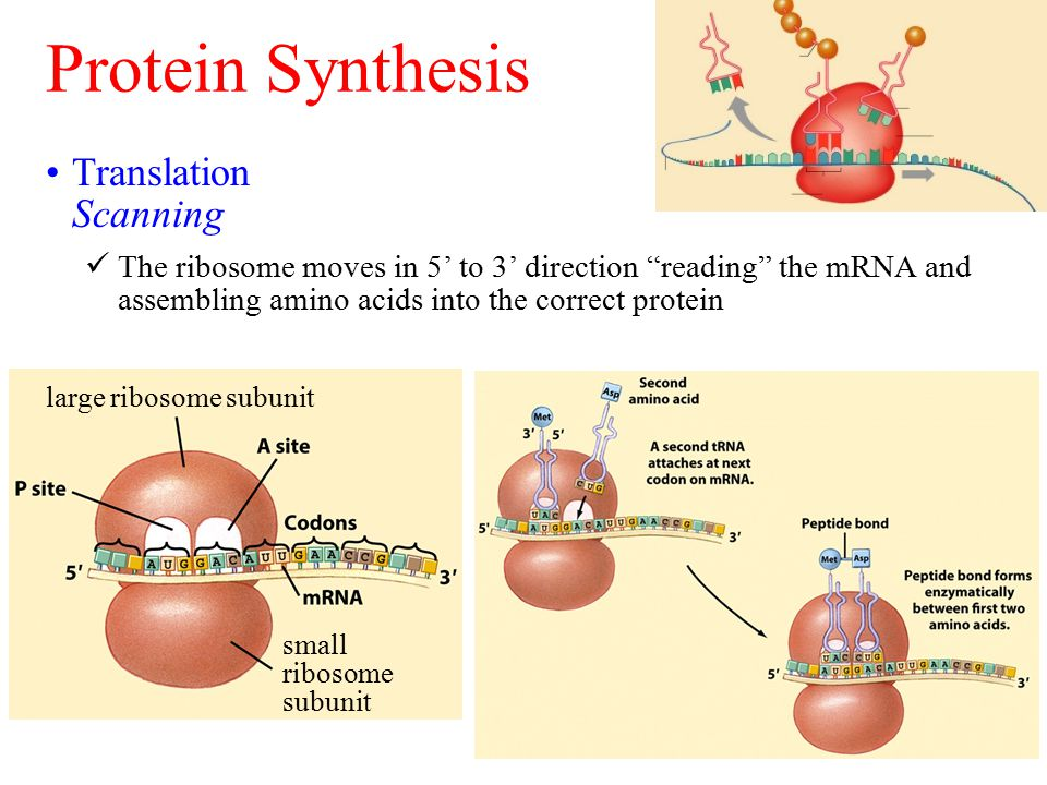 "Protein Synthesis Translation Scanning The ribosome moves in 5' to 3' direction ""reading"" the mRNA and assembling amino acids into the correct protein"