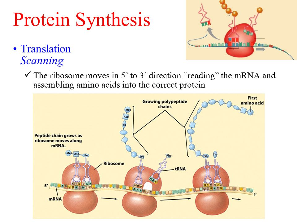 Protein Synthesis Translation Scanning The ribosome moves in 5' to 3' direction reading the mRNA and assembling amino acids into the correct protein