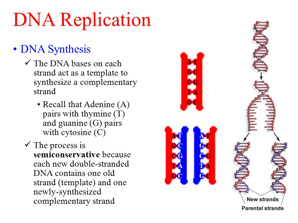 DNA Synthesis The DNA bases on each strand act as a template to synthesize a complementary strand Recall that Adenine (A) pairs with thymine (T) and guanine (G) pairs with cytosine (C) The process is semiconservative because each new double-stranded DNA contains one old strand (template) and one newly-synthesized complementary strand DNA Replication AGCTGAGCTG TCGACTCGAC AGCTGAGCTG TCGACTCGAC AGCTGAGCTG TCGACTCGAC AGCTGAGCTG TCGACTCGAC TCGACTCGAC AGCTGAGCTG