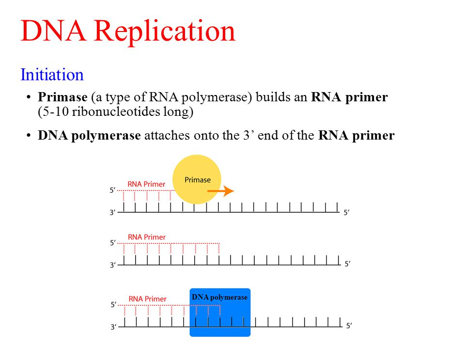 Initiation Primase (a type of RNA polymerase) builds an RNA primer (5-10 ribonucleotides long) DNA polymerase attaches onto the 3' end of the RNA prim