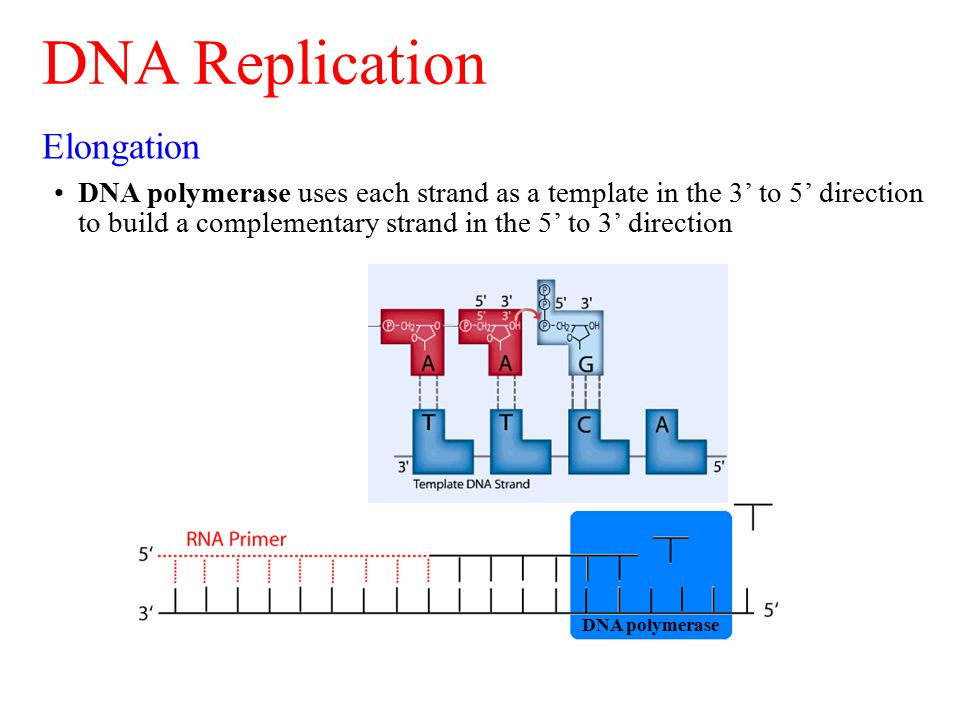 Elongation DNA polymerase uses each strand as a template in the 3' to 5' direction to build a complementary strand in the 5' to 3' direction DNA Replication DNA polymerase