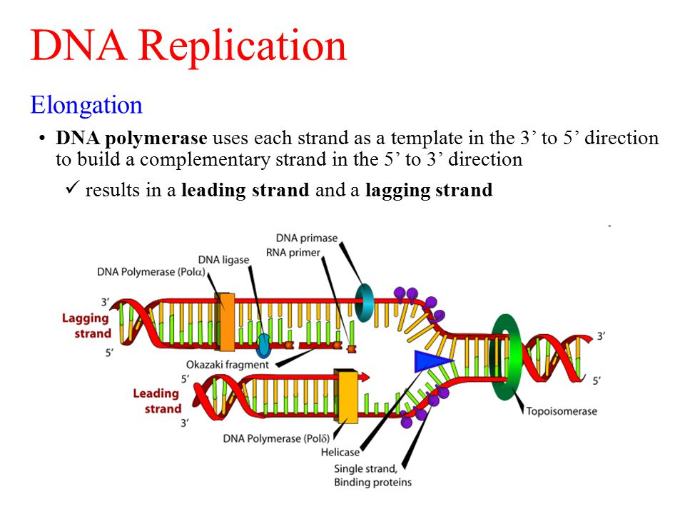 Elongation DNA polymerase uses each strand as a template in the 3' to 5' direction to build a complementary strand in the 5' to 3' direction results i