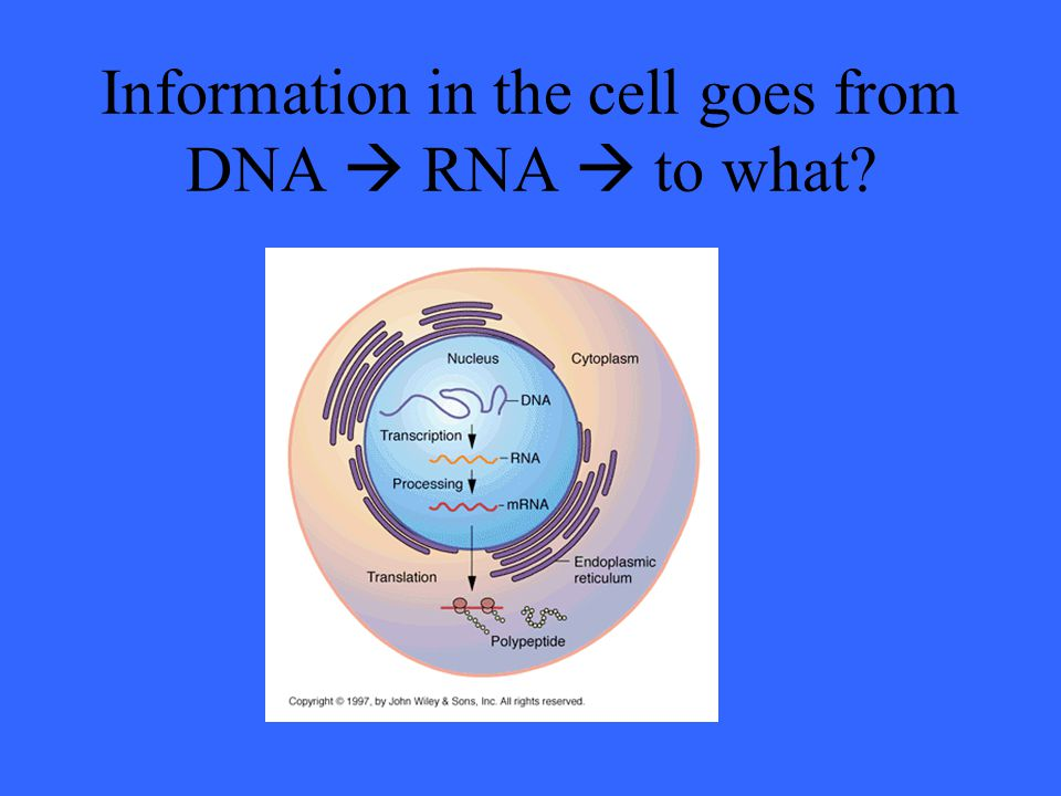 Information in the cell goes from DNA  RNA  to what?