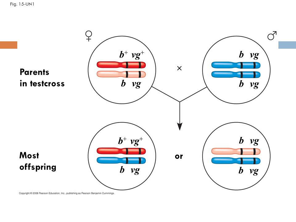 Fig. 15-UN1 b + vg + Parents in testcross Most offspring b + vg + b vg  or