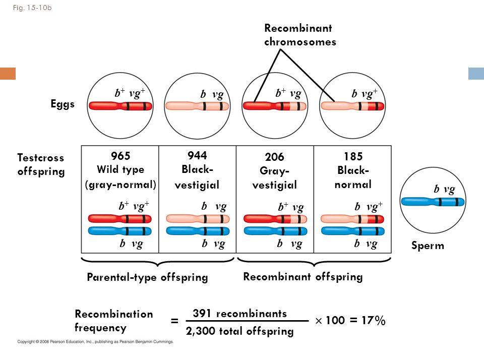 Fig. 15-10b Testcross offspring 965 Wild type (gray-normal) 944 Black- vestigial 206 Gray- vestigial 185 Black- normal b + vg + b vg b + vg b vg b + v