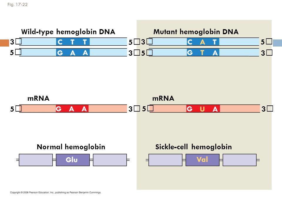 Fig. 17-22 Wild-type hemoglobin DNA mRNA Mutant hemoglobin DNA mRNA 3 3 3 3 3 3 5 5 5 5 5 5 CCTT T T G G A A A A AA A GG U Normal hemoglobinSickle-cel