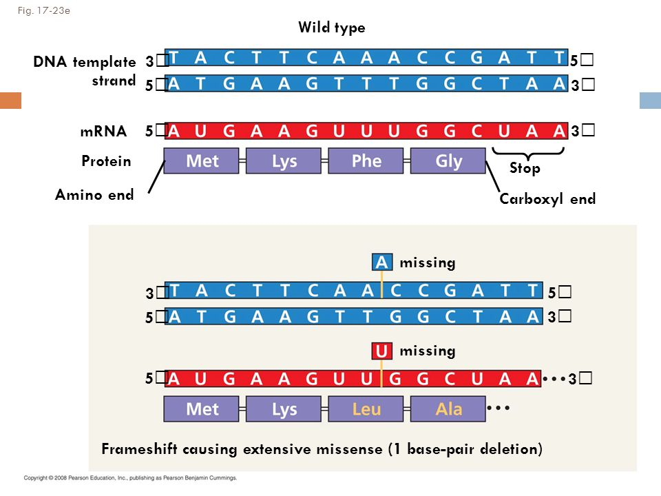 Fig. 17-23e Wild type DNA template strand 3 5 mRNA Protein 5 Amino end Stop Carboxyl end 5 3 3 missing 3 3 3 5 5 5 Frameshift causing extensive missen