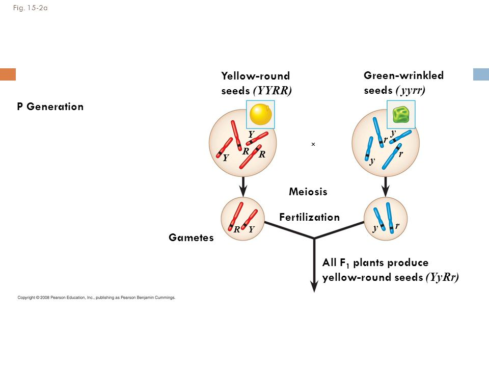Fig. 15-2a P Generation Gametes Meiosis Fertilization Yellow-round seeds (YYRR) Green-wrinkled seeds ( yyrr) All F 1 plants produce yellow-round seeds
