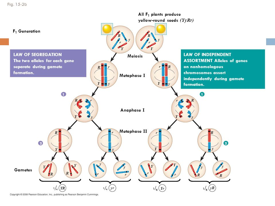 Fig. 15-2b 0.5 mm Meiosis Metaphase I Anaphase I Metaphase II Gametes LAW OF SEGREGATION The two alleles for each gene separate during gamete formatio