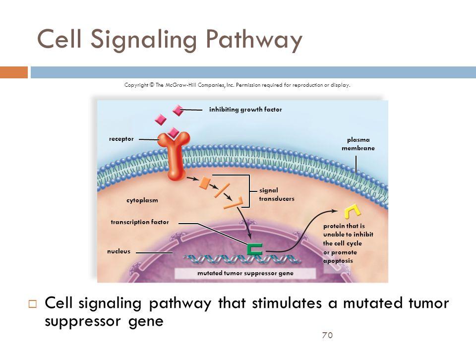70 Cell Signaling Pathway  Cell signaling pathway that stimulates a mutated tumor suppressor gene Copyright © The McGraw-Hill Companies, Inc. Permiss