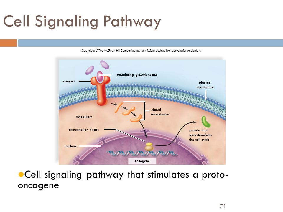 71 Cell Signaling Pathway Cell signaling pathway that stimulates a proto- oncogene Copyright © The McGraw-Hill Companies, Inc. Permission required for
