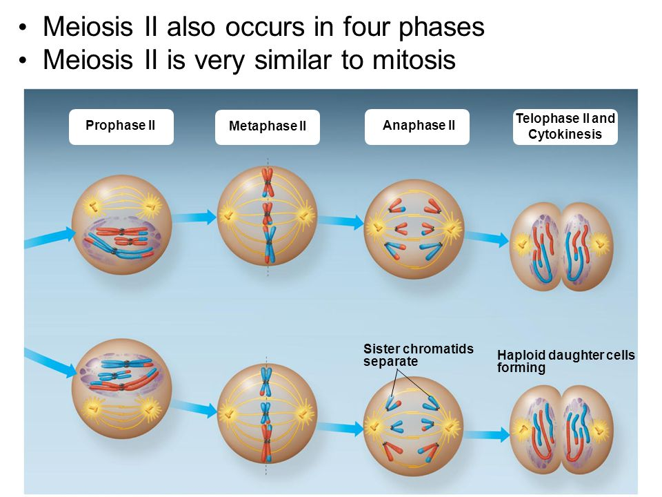 Prophase II Metaphase II Anaphase II Telophase II and Cytokinesis Sister chromatids separate Haploid daughter cells forming Meiosis II also occurs in