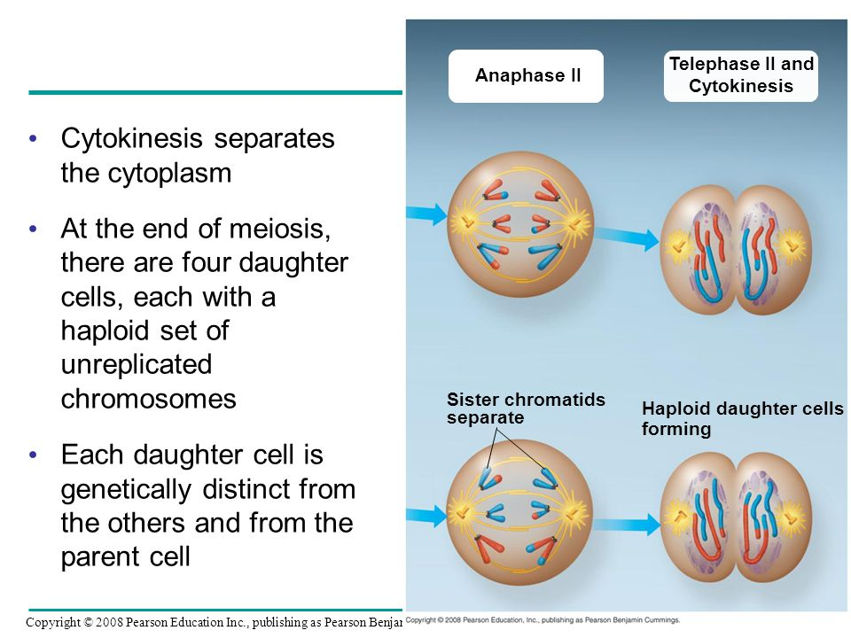Cytokinesis separates the cytoplasm At the end of meiosis, there are four daughter cells, each with a haploid set of unreplicated chromosomes Each dau