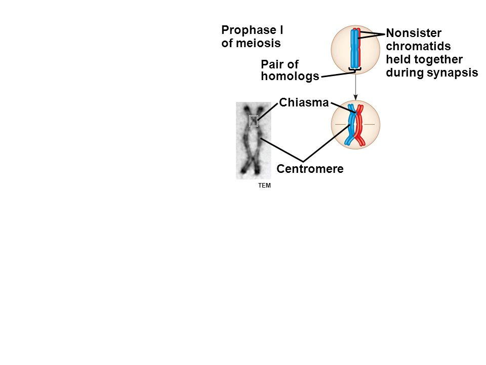 Prophase I of meiosis Pair of homologs Nonsister chromatids held together during synapsis Chiasma Centromere TEM
