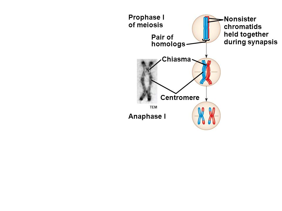 Prophase I of meiosis Pair of homologs Nonsister chromatids held together during synapsis Chiasma Centromere Anaphase I TEM