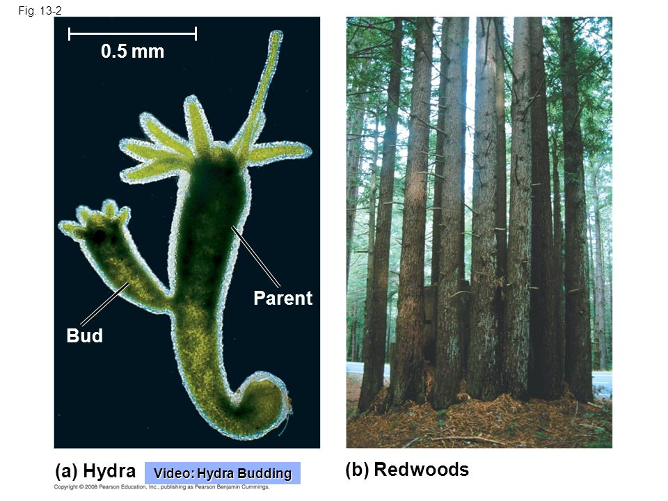 Fig. 13-2 (a) Hydra (b) Redwoods Parent Bud 0.5 mm Video: Hydra Budding Video: Hydra Budding