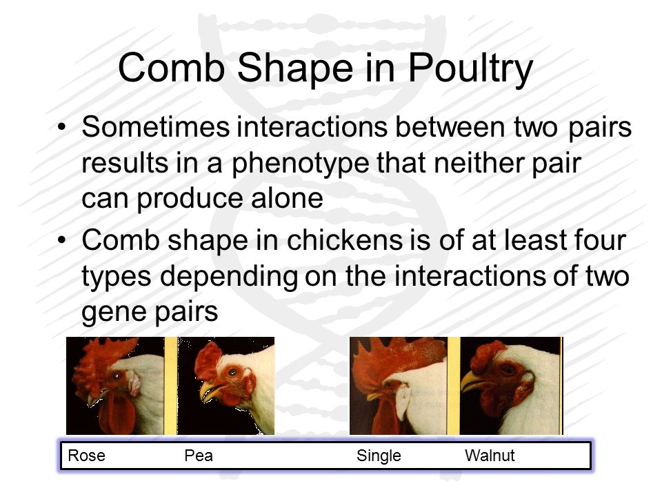 Comb Shape in Poultry Sometimes interactions between two pairs results in a phenotype that neither pair can produce alone Comb shape in chickens is of at least four types depending on the interactions of two gene pairs Rose Pea SingleWalnut