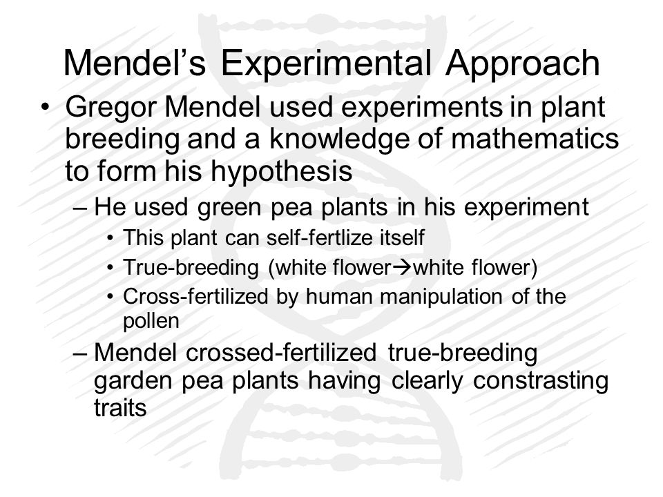 Mendel's Experimental Approach Gregor Mendel used experiments in plant breeding and a knowledge of mathematics to form his hypothesis –He used green pea plants in his experiment This plant can self-fertlize itself True-breeding (white flower  white flower) Cross-fertilized by human manipulation of the pollen –Mendel crossed-fertilized true-breeding garden pea plants having clearly constrasting traits