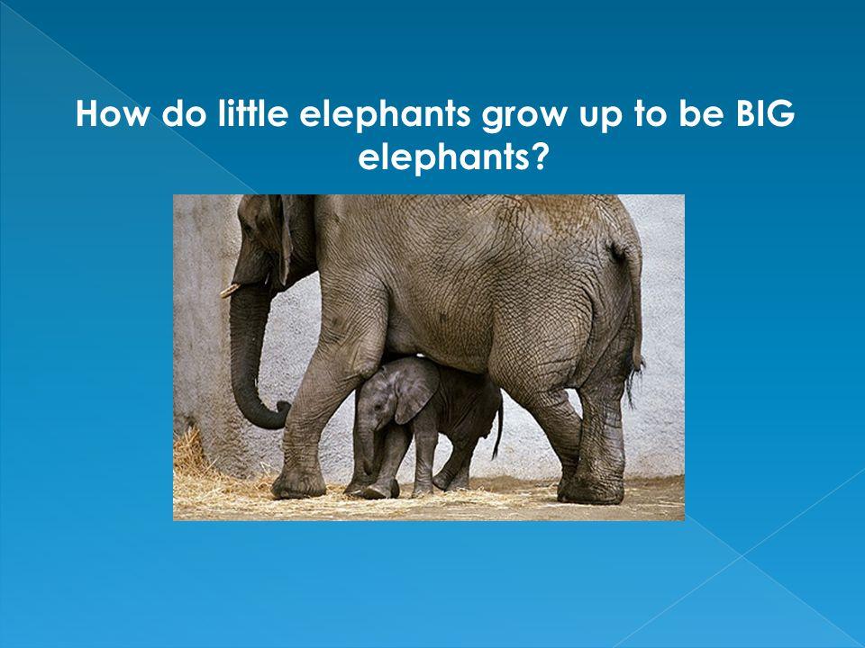 How do little elephants grow up to be BIG elephants?