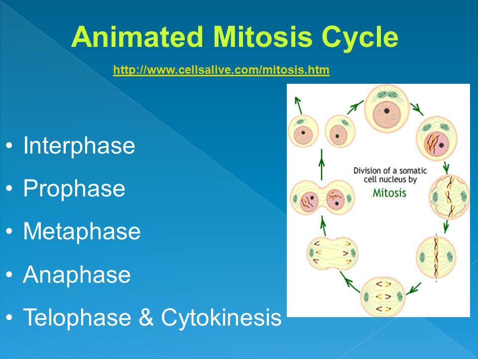 Animated Mitosis Cycle http://www.cellsalive.com/mitosis.htm Interphase Prophase Metaphase Anaphase Telophase & Cytokinesis