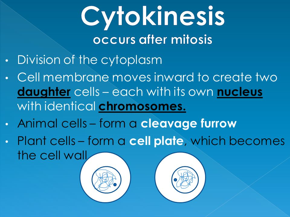 Division of the cytoplasm Cell membrane moves inward to create two daughter cells – each with its own nucleus with identical chromosomes. Animal cells