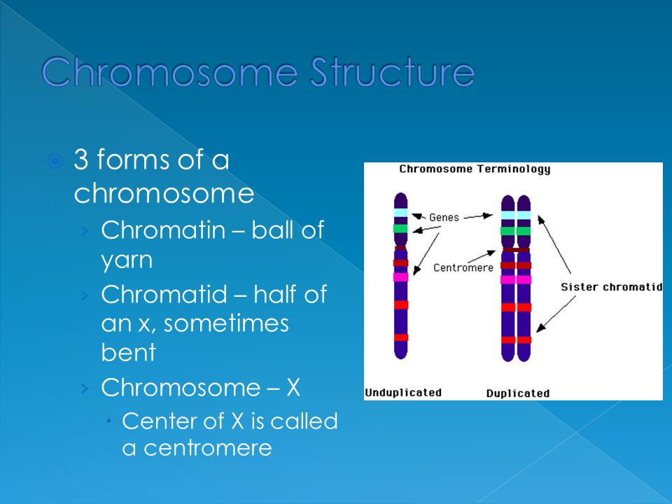 3 forms of a chromosome › Chromatin – ball of yarn › Chromatid – half of an x, sometimes bent › Chromosome – X  Center of X is called a centromere