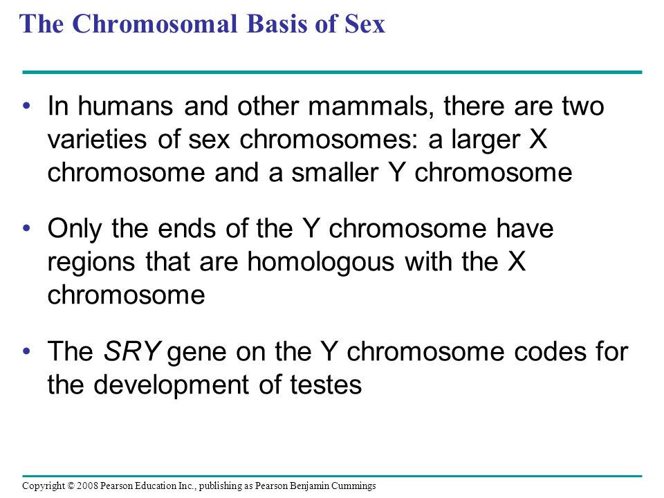 The Chromosomal Basis of Sex In humans and other mammals, there are two varieties of sex chromosomes: a larger X chromosome and a smaller Y chromosome