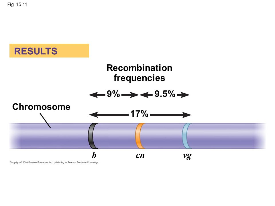 Fig. 15-11 RESULTS Recombination frequencies Chromosome 9%9.5% 17% bcnvg