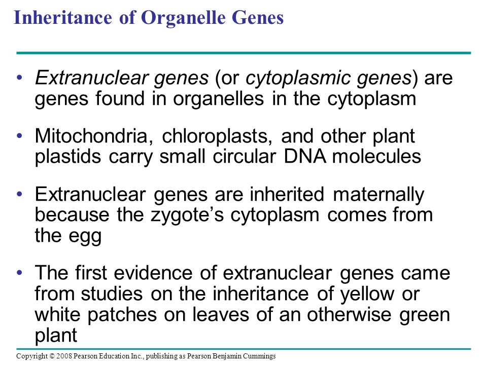 Inheritance of Organelle Genes Extranuclear genes (or cytoplasmic genes) are genes found in organelles in the cytoplasm Mitochondria, chloroplasts, an