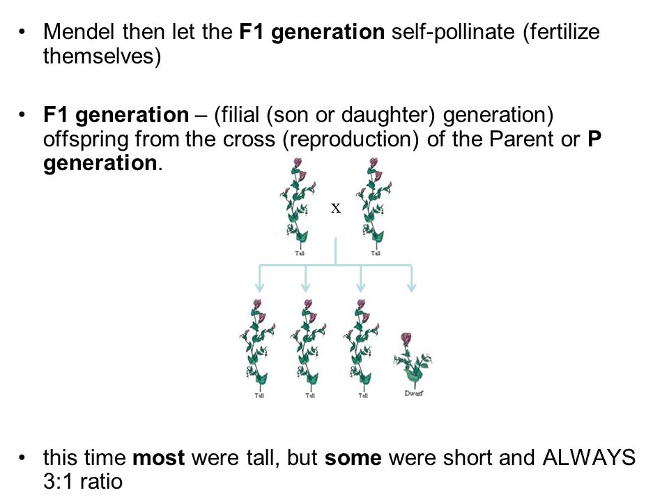 x Mendel then let the F1 generation self-pollinate (fertilize themselves) F1 generation – (filial (son or daughter) generation) offspring from the cro