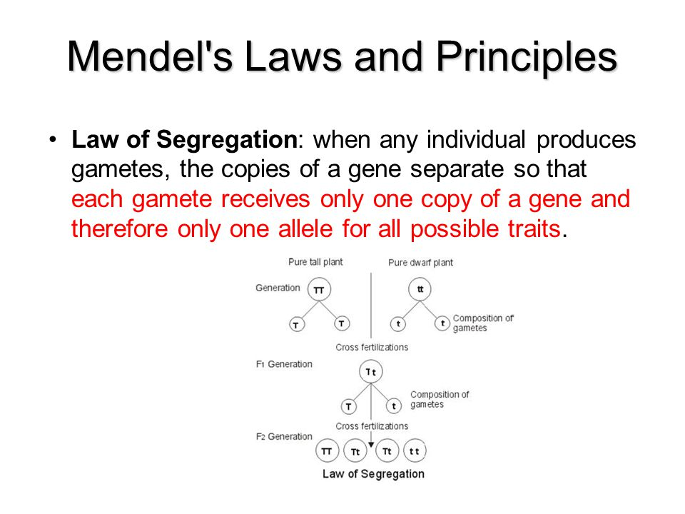 Mendel's Laws and Principles Law of Segregation: when any individual produces gametes, the copies of a gene separate so that each gamete receives only
