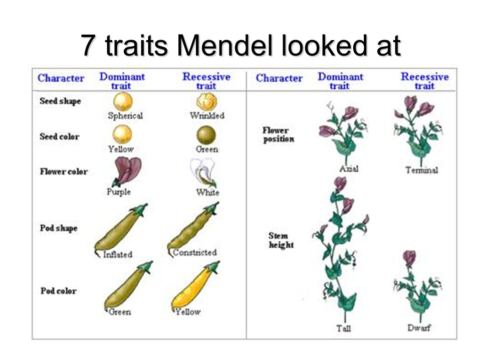 Mendel s Pea Plant Experiment True breeding: Individuals that only contain one variation of a trait and therefore can only pass this one variation on to future generations.