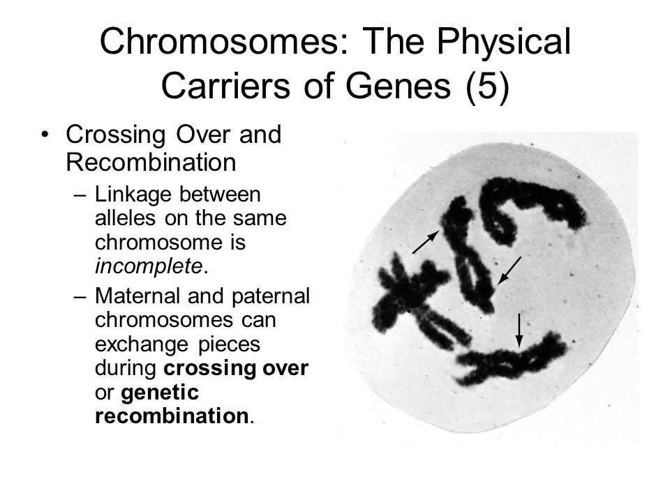 Chromosomes: The Physical Carriers of Genes (5) Crossing Over and Recombination –Linkage between alleles on the same chromosome is incomplete.
