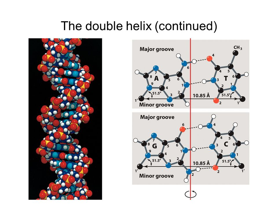 The double helix (continued)