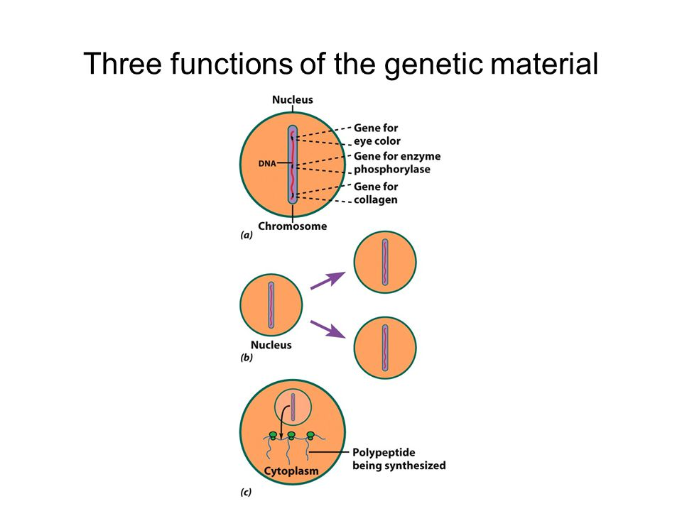 Three functions of the genetic material