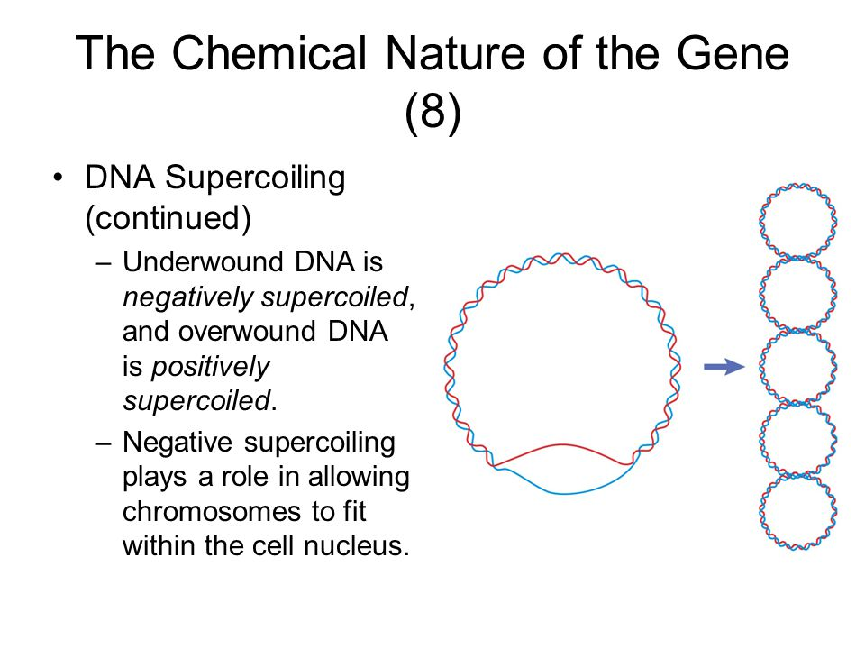 The Chemical Nature of the Gene (8) DNA Supercoiling (continued) –Underwound DNA is negatively supercoiled, and overwound DNA is positively supercoiled.