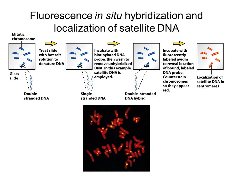 Fluorescence in situ hybridization and localization of satellite DNA
