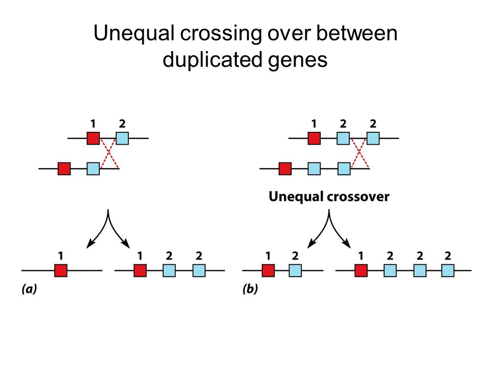 Unequal crossing over between duplicated genes