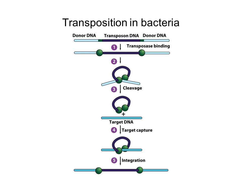 Transposition in bacteria