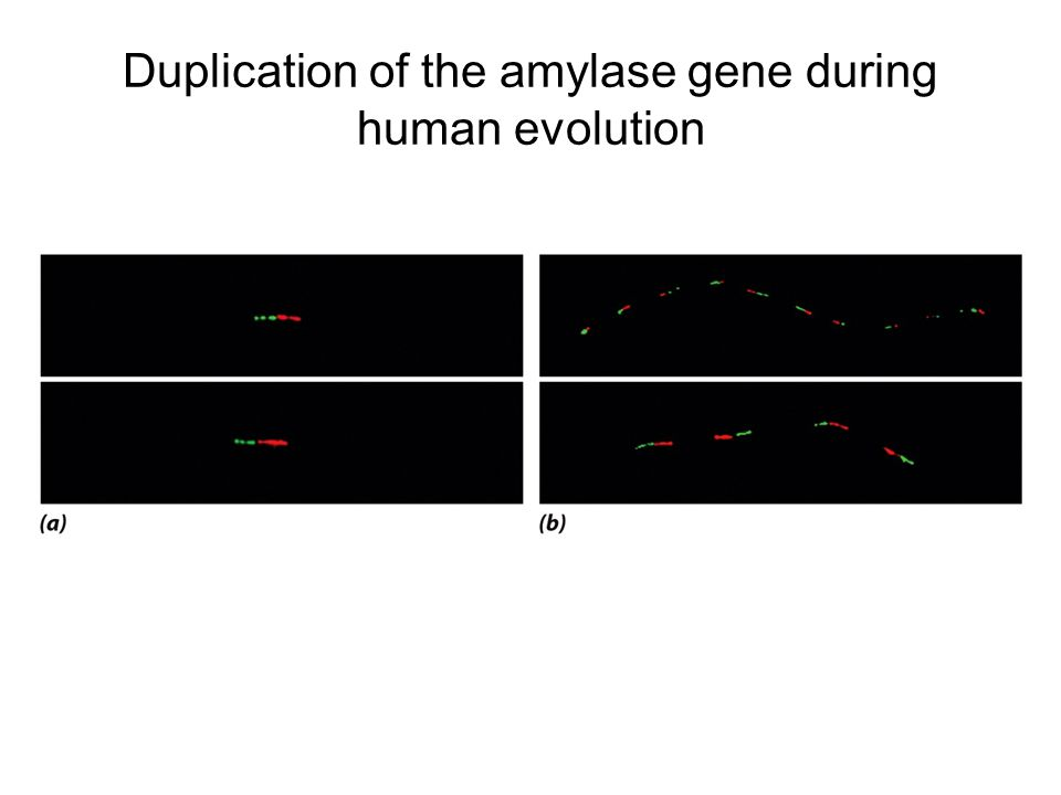 Duplication of the amylase gene during human evolution