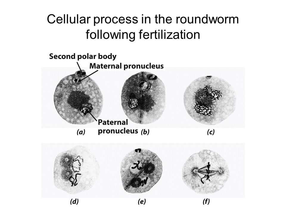 Cellular process in the roundworm following fertilization