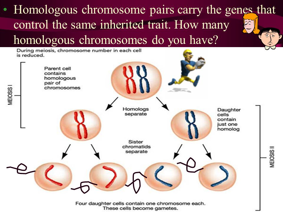 Homologous chromosome pairs carry the genes that control the same inherited trait. How many homologous chromosomes do you have?