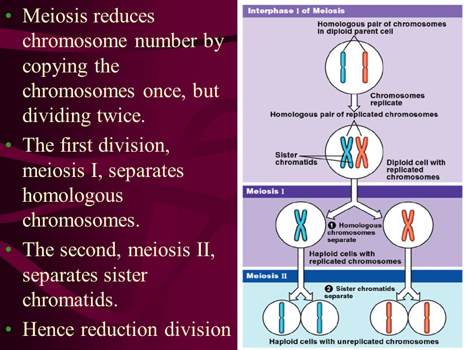 Meiosis reduces chromosome number by copying the chromosomes once, but dividing twice. The first division, meiosis I, separates homologous chromosomes