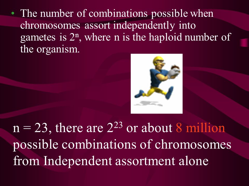 The number of combinations possible when chromosomes assort independently into gametes is 2 n, where n is the haploid number of the organism. n = 23,