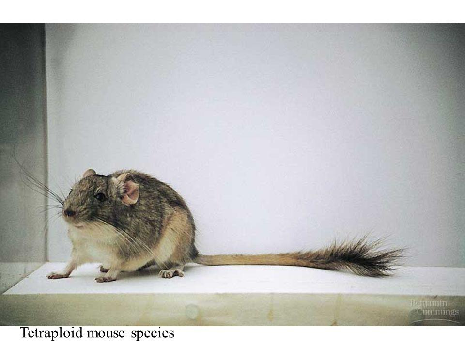 Tetraploid mouse species