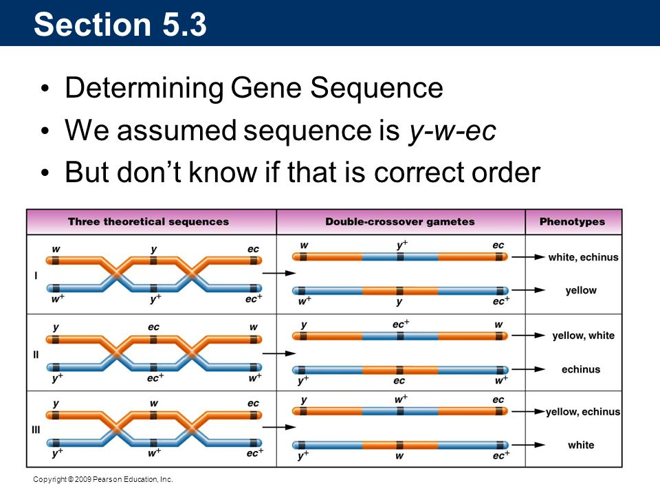Copyright © 2009 Pearson Education, Inc. Section 5.3 Determining Gene Sequence We assumed sequence is y-w-ec But don't know if that is correct order