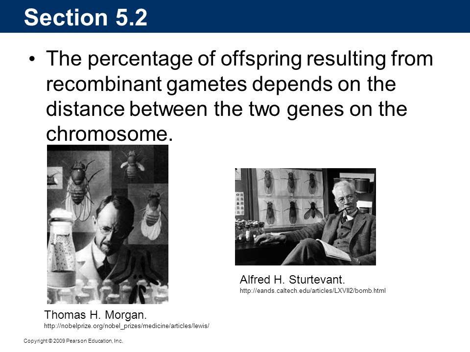 Copyright © 2009 Pearson Education, Inc. The percentage of offspring resulting from recombinant gametes depends on the distance between the two genes