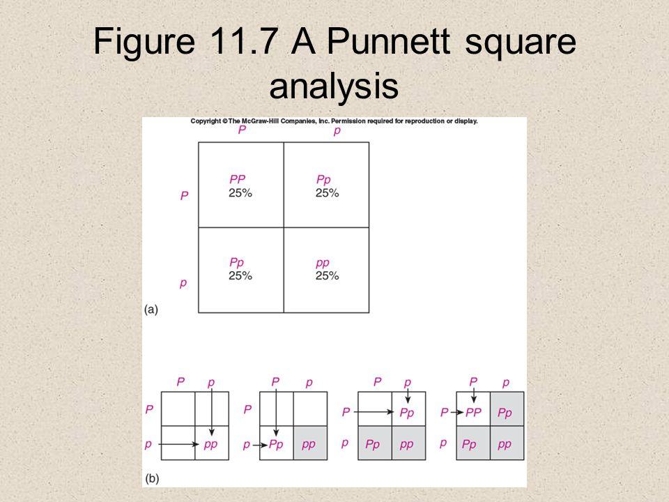 Figure 11.7 A Punnett square analysis