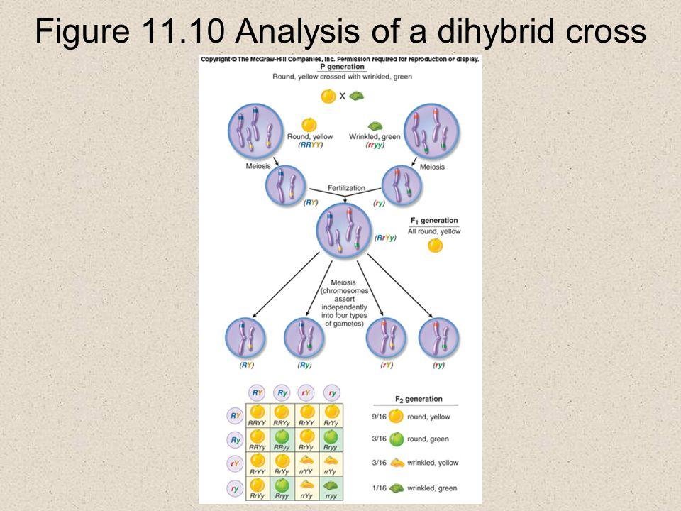 Figure 11.10 Analysis of a dihybrid cross